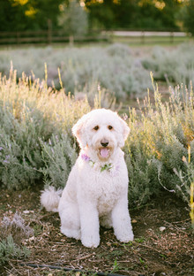 Lavender farm inspiration dog