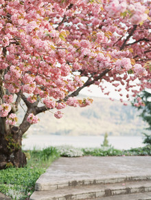 Flowering cherry tree at the Columbia Gorge Hotel