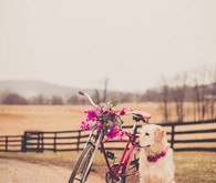 Pink wedding getaway bike