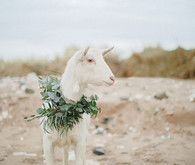 Goat wedding
