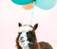 Llama at party