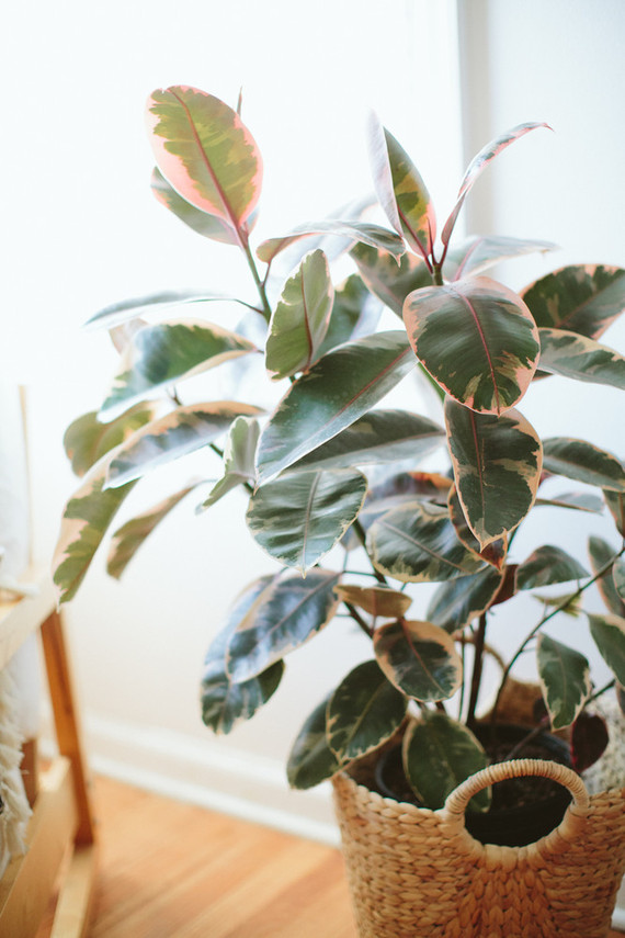 variegated rubber tree plant