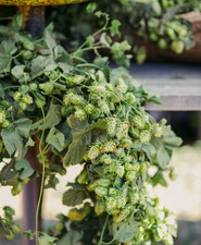 hops for wedding flowers